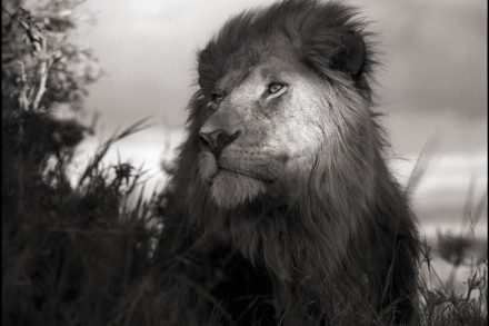 Nick Brandt – Lion in Shaft of Light © Nick Brandt